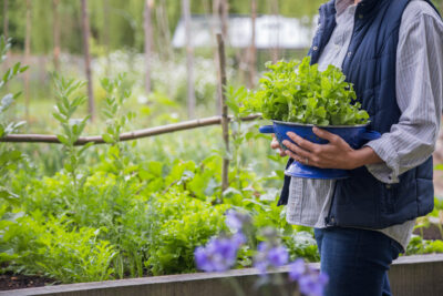 Get growing with fresh lettuce picked from a vegetable plot