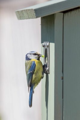 Blue tit - Cyanistes caeruleus - feeding young in birdbox