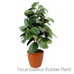 Air_Purifying_Rubber_Plant