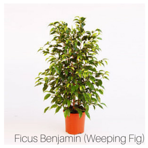 Air_Purifying_Weeping_Fig