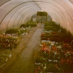 One of the old bedding plant polytunnels