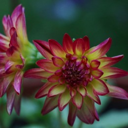 Can't beat Dahlia's for a splash of colour. Nicki McLearnon