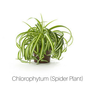 Air_Purifying_Spider_Plant