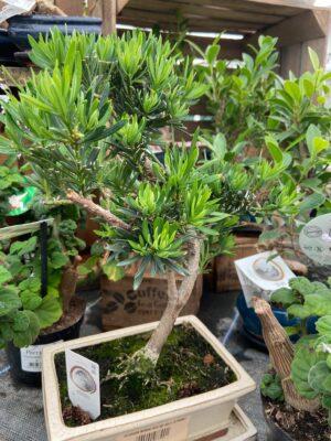 Bonsai tree variety