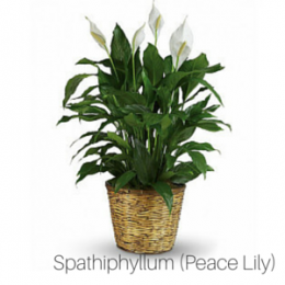 Air_Purifying_Peace_Lily