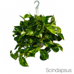 Air_Purifying_Scindapsus