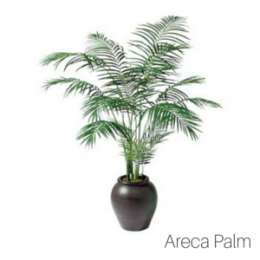 Air_Purifying_Areca_Palm