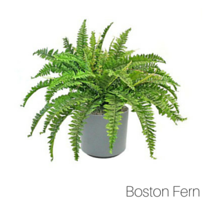 Air_Purifying_Boston_Fern