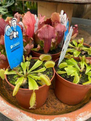 Dionaea - carnivorous plants