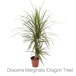 Air_Purifying_Dragon_Tree