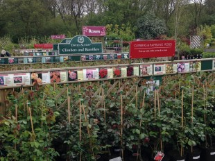 A wide range of roses available to buy at Perrywood