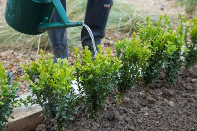 five easy steps to planting a bare root box hedge perrywood