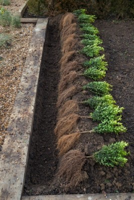 Bare root hedging_4