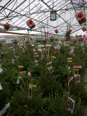 Christmas trees at Perrywood