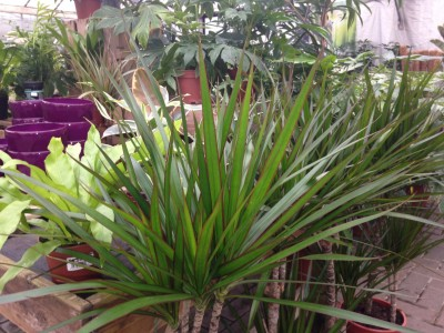 Dracaena ''Madagascar Dragon Tree''
