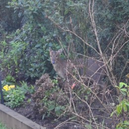 This Muntjac deer thought our primulas looked very tasty! Elaine Marson
