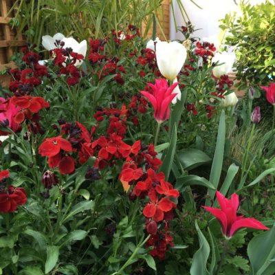 Ersimum Blood Red mixed with Tulipa Dolls Minuet- spring colour