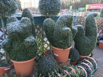 Buxus sempervirens 'Common box'