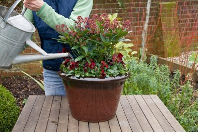 watering a winter container