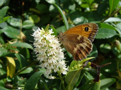 Gatekeeper butterfly feeding on flowers in my garden S Winnard