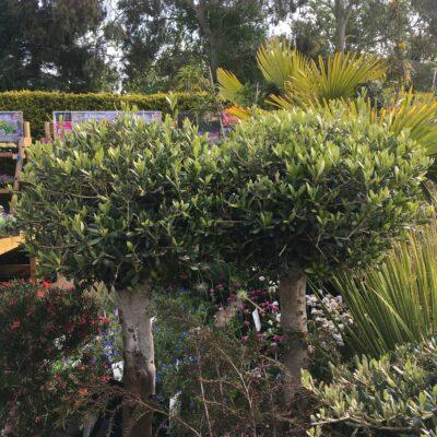 """Olea europaea """"Olive"""""""