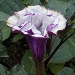 A solitary purple Angel Trumpet in our garden - first of many, we hope. Heather Johnson