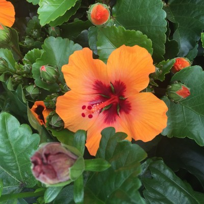 Hibiscus rosa-sinensis 'Petit Orange' Third, Plant of the Year 2017 RHS Chelsea Show