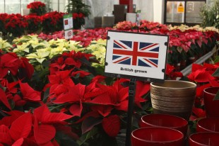 British grown Poinsettia on-sale at Perrywood