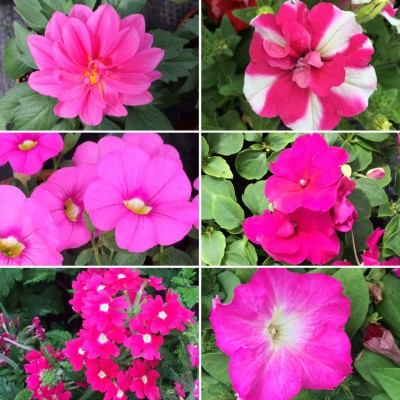 Colour With Summer Bedding Plants, Bedding Plant Pink Flower