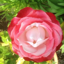 This rose is called Rosa Nostalgia = 'Taneiglat'. It is in a pot in my garden. Just one of 4 blooms. Irene Hoffman