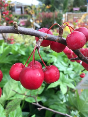 Malus x robusta 'Red Sentinel' AGM
