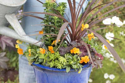 Orange pansies contrast with purple foliage