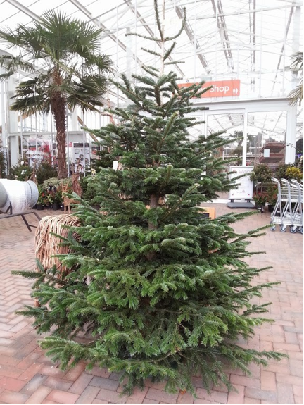 nordman fir christmas tree for sale at perrywood - Real Christmas Tree For Sale
