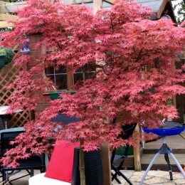 Our beautiful Acer tree in May bought many years ago from Perrywood. Norman & Susan Eastbrook