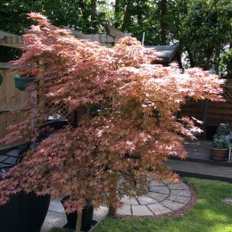 Our beautiful Acer tree in June bought many years ago from Perrywood. Norman & Susan Eastbrook
