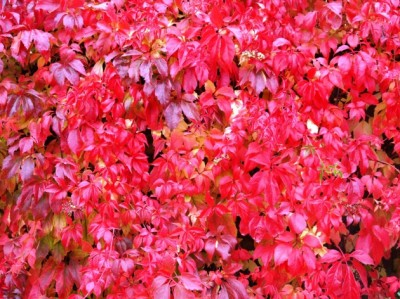 Shrubs For Autumn Colour In Your Garden Perrywood