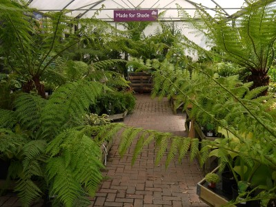 Dicksonia antarctica 'Tree Fern' - made for shade!