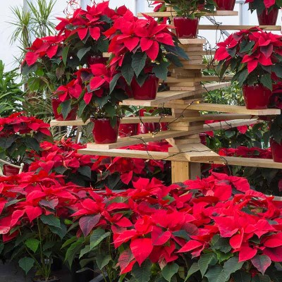 Perrywood Poinsettia