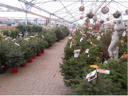 perrywood potted christmas trees for sale - Real Christmas Trees For Sale