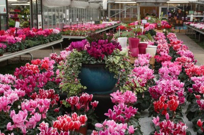 Perrywood grown Cyclamen