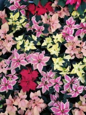 Poinsettia colour mix