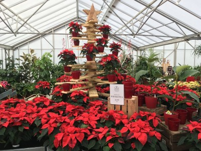The classic red Poinsettia on display at Perrywood