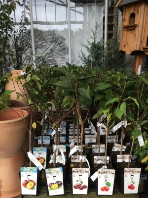 Fruit trees perfect for patio pots