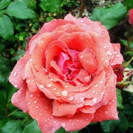 So lovely to see some rain today. Loved the raindrops on my 'Fragrant Cloud' Rose. Ros Wilkinson