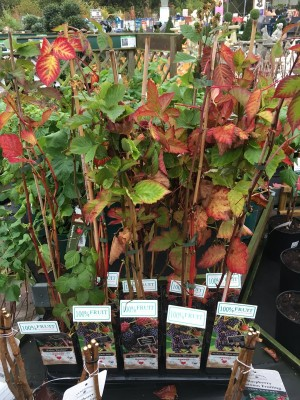 Compact fruit trees with beautiful autumn foliage