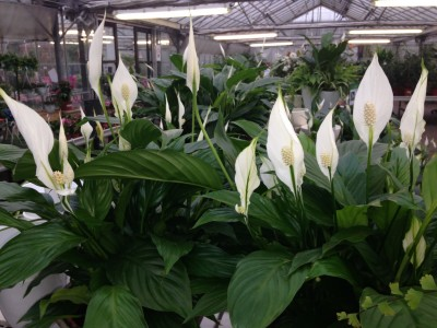 Spathiphyllum ''Peace-Lily''