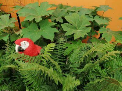 Tetrapanax papyrifer 'Rex' - shade plant