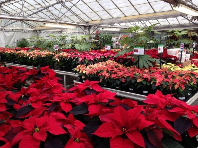 The Poinsettia house at Perrywood!