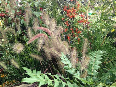 The seed heads of the Pennisetum grass are soft and graceful