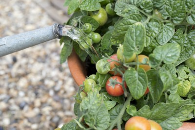 Tumbling Tom Tomatoes are ideal for small spaces